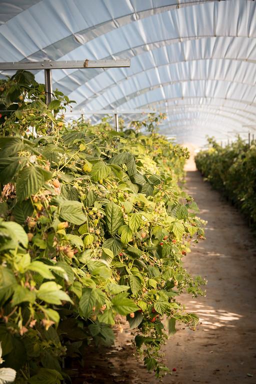 raspberries under high tunnel