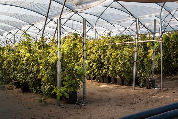 raspberries grow in substrate