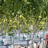 hydroponic style tomato growing