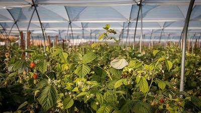 raspberry production
