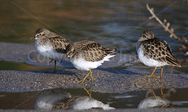 Sandpiper Dream