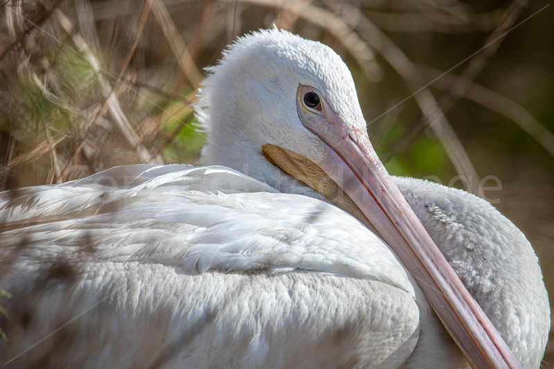 Winter Pelican