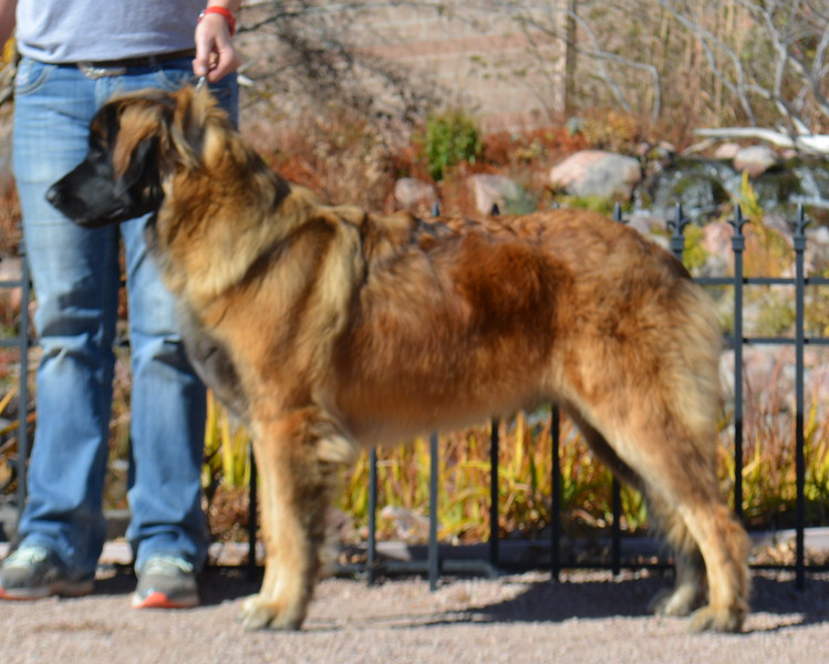 New AKC Champion, Wildering's Too Hot For You (20 months)