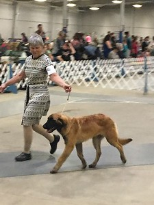 Deb and Dazzle in their first show, Beginner Puppy in Belton at 5 months.