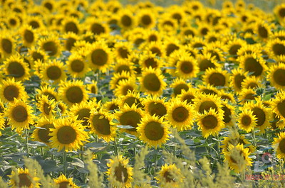 Flowers of Bulgaria