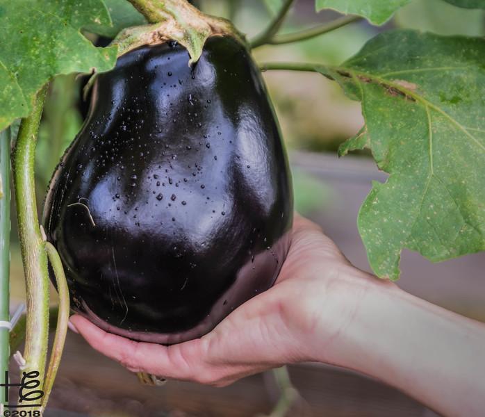 Mature eggplant