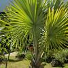Palm Fans Grow Everywhere