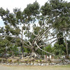An Unbelievable Ceiba Tree In The Pueblo