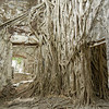 The Casa Built By The Conquistador Has Been Taken Over By Parasitic Vines