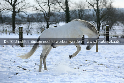 Andalusier im Schnee