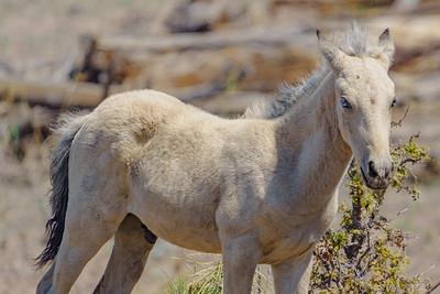 Heber Wild Horses