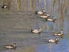 Verde River Ducks, American Wigeons, 2/26/16