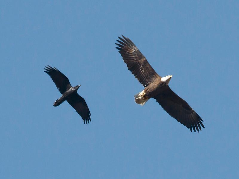 Bald Eagle and Common Raven