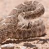 Western Diamonback Rattlesnake, 5/21/08