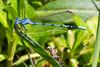 Dragonflies and Damselflies, Lower Tapco, 7/26/14