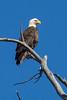 Bald Eagle at Tapco RAP, 2/23/14
