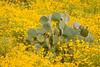 Flowers near Rock Springs, AZ, 4/3/08