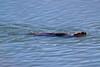 Verde River Wildlife - Birds & Otters, 12/30/15