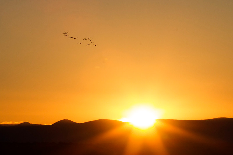 Geese in the sunrise, 12/3/16