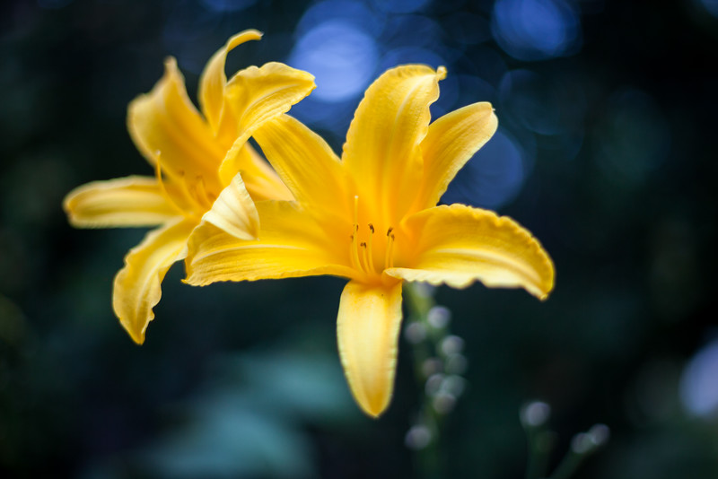 27 July, 2016.<br /> <br /> A lilly brings a cheerful burst of yellow to the yard.