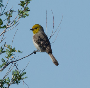 Verdin  South Texas 2012 03 23-1.CR2