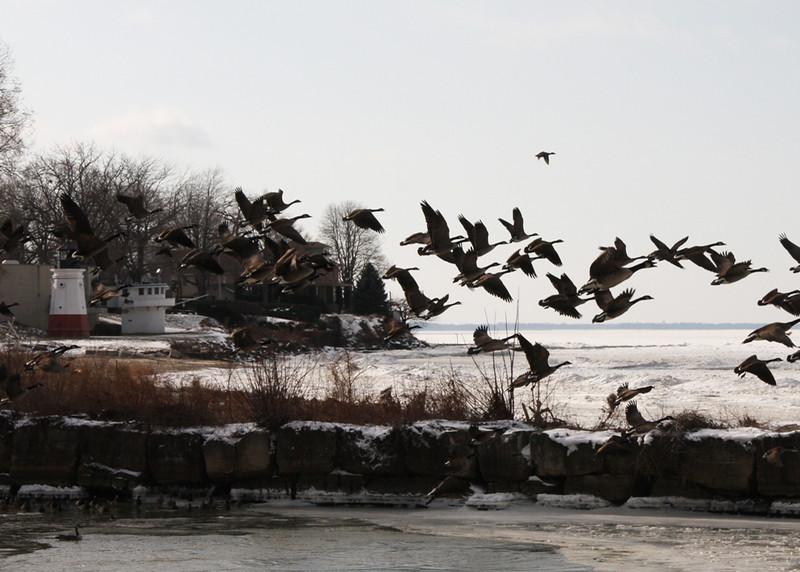 Jan 3, geese flying 5637