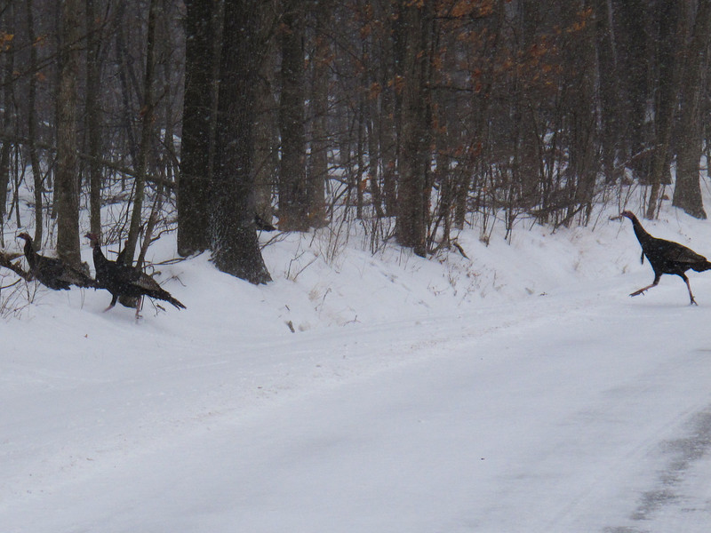 About 15 of these wild turkeys increased their speed on West River Road when I got close.