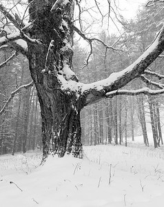 Sugar Maple in Winter / Royalton, Vermont