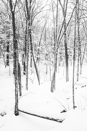 Winter Forest / Norwich, Vermont