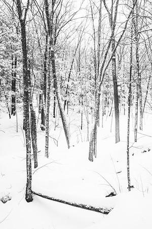 Winter Forest / Norwich, Vermont