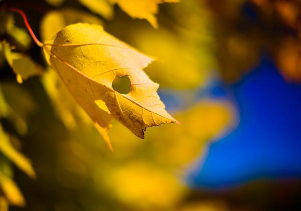 Autumn Maple Leaf / Norwich, Vermont