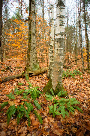 Birches and Ferns, Bragg Hill / Norwich, Vermont