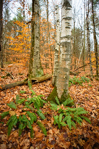 Birches and Ferns - Norwich, Vermont