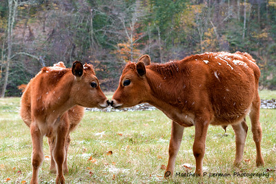 Heifer Kiss  in the  first snow     #798
