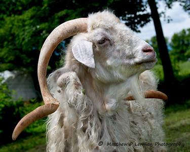 Angora Goat, Polymeadows Farm, Shaftsbury, Vermont
