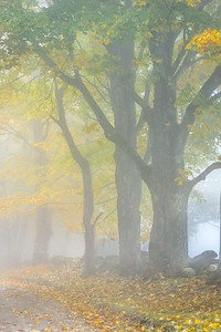 Misty Maples