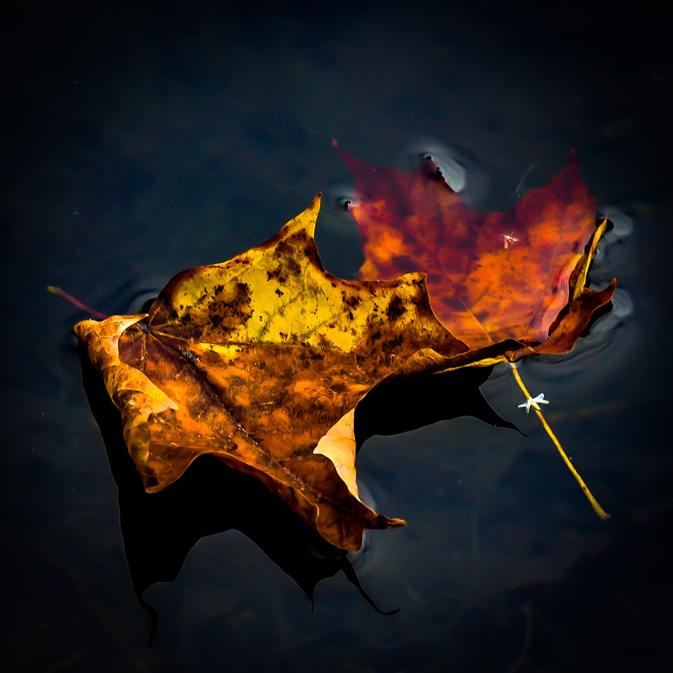 Drifting Leaves