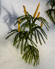 Flat Branched Tree-Clubmoss