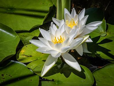 Lake Dunmore Lilies