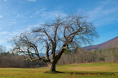 Ye Olde Apple tree in Manchester, Vermont