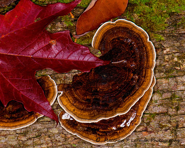59 Maple Leaf-Fungi Map VT Sept_8978