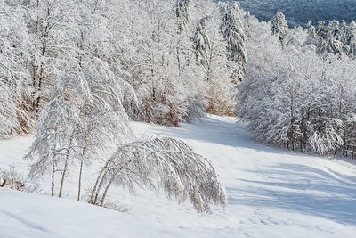 Bowed Birches