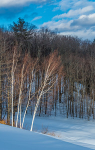 Birch Grove - Early Winter