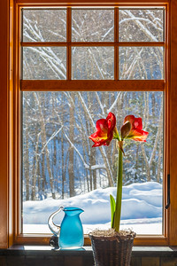 Winter Amaryllis