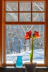 Winter Amaryllis