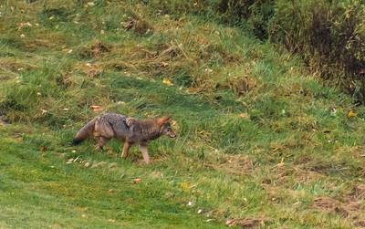 Seaver Hill Coyote