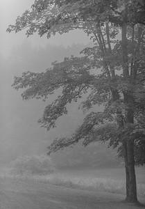 Maple in Rain and Fog 2-8506021