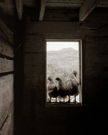 Hens on the Lookout