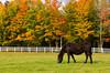 A horse grazing in a pasture with fall foliage at the Cedar Grove Farm near Peacham, Vermont, USA.