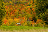 Fall foilage in the hills with a horse grazing in the pasture in rural, Vermont, USA.